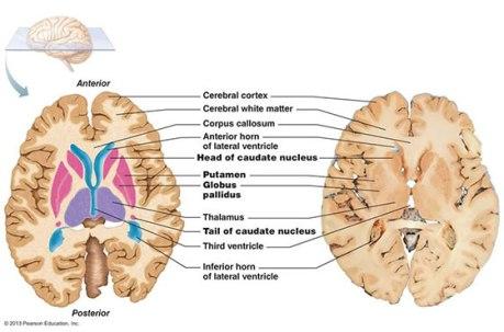 image_caudate_nucleus2